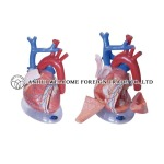AH935 Expansion Model of Heart Dissection 4 Parts