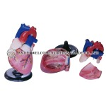 AH936 Expansion Model of Heart Dissection 4 Parts