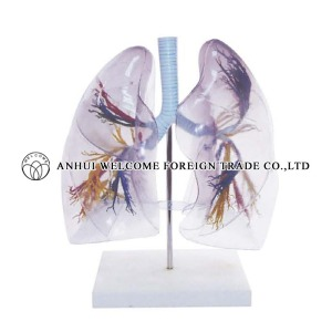 AH939 Model of the Transparent Lung Segment