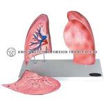 AH943 Lungs Model