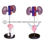 AH948 Model of the Male/Female Urinary System