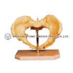 AH951 Adult Female Human Pelvis on Base