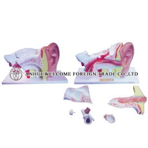 AH969 Expansion Model of the Ear Dissection (External Middle and Internal Ear) 6 parts