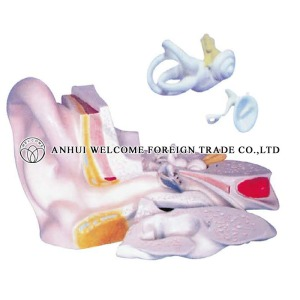 AH970 5 Times Expansion Model of the Ear Dissection (External Middle and Internal Ear)