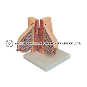 AH972 Mamary Gland