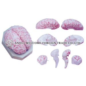 AH973 Model of the Brain and Brain Artery