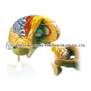 AH974 Human Brain