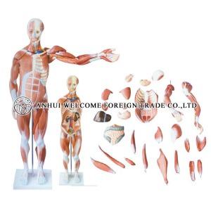 AH981 Muscle Body Model