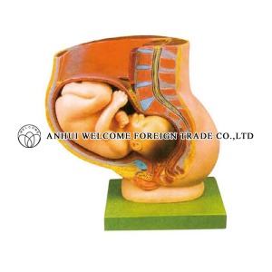 AH990 Pelvis with Uterus in the Ninth Month Pregnancy